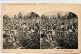 Plantacion De Azucar - Estereoscópicas
