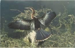 FLORIDA - ANHINGA - Everglades National Park - Etats-Unis