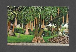FLEURS ET PLANTES - THE SAUSAGE TREE (KIGELIA PINNATA) ALSO CALLED THE FETISH TREE, NATIVE OF TROPICAL AFRICA - Fleurs, Plantes & Arbres