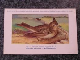 ALOUETTE COCHEVIS Musée Royal D´ Histoire Naturelle De Belgique Oiseau Bird Oiseaux Illustration DUPOND H Carte Postale - Vogels