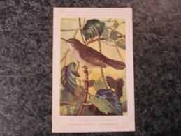 LOCUSTELLE TACHETEE Musée Royal D´ Histoire Naturelle Belgique Oiseau Bird Oiseaux Illustration DUPOND H Carte Postale - Oiseaux