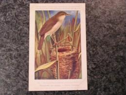 ROUSSEROLLE Roseaux  Musée Royal D´ Histoire Naturelle Belgique Oiseau Bird Oiseaux Illustration DUPOND H Carte Postale - Birds