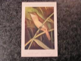 ROUSSEROLLE TURDOIDE  Musée Royal D´ Histoire Naturelle Belgique Oiseau Bird Oiseaux Illustration DUPOND H Carte Postale - Oiseaux
