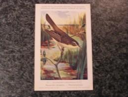 ROUSSEROLLE Phargm.  Musée Royal D´ Histoire Naturelle Belgique Oiseau Bird Oiseaux Illustration DUPOND H Carte Postale - Vogels