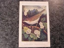 FAUVETTE BABILLARDE  Musée Royal D´ Histoire Naturelle Belgique Oiseau Bird Oiseaux Illustration DUPOND H Carte Postale - Oiseaux