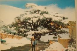 Carte Postale  LEBANON CEDAR TREE - Liban