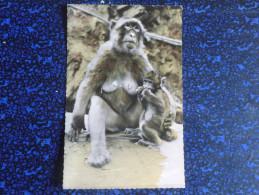 BLIDA - Gorges De La Chiffa , Une Guenon - Blida