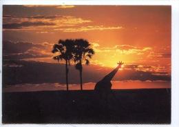 Afrique Du Sud : Giraffe At Sunset Zululand - Natal (ed Promco) - Südafrika