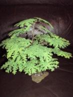 Britains  Oak Tree.    Vers 1963. - Blumen