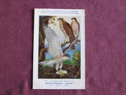 EPERVIER D' EUROPE Musée Royal D´ Histoire Naturelle Belgique Oiseau Bird Oiseaux Illustration DUPOND H Carte Postale - Birds