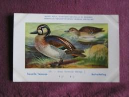SARCELLE FORMOSE  Musée Royal D´ Histoire Naturelle Belgique Oiseau Bird Oiseaux Illustration DUPOND H Carte Postale - Birds