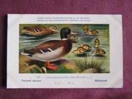 CANARD COLVERT  Musée Royal D´ Histoire Naturelle Belgique Oiseau Bird Oiseaux Illustration DUPOND H Carte Postale - Oiseaux
