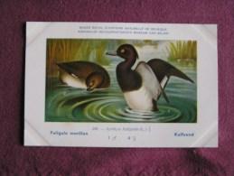 FULIGULE MORILLON  Musée Royal D´ Histoire Naturelle Belgique Oiseau Bird Oiseaux Illustration DUPOND H Carte Postale - Oiseaux