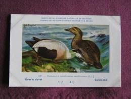 EIDER A DUVET  Musée Royal D´ Histoire Naturelle Belgique Oiseau Bird Oiseaux Illustration DUPOND H Carte Postale - Birds