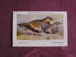 GANGA UNIBANDE  Musée Royal D´ Histoire Naturelle Belgique Oiseau Bird Oiseaux Illustration DUPOND H Carte Postale - Oiseaux