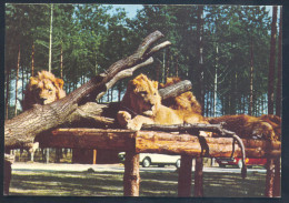 Germany Fauna Lion Löwe Panthera Leo - Katzen