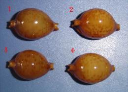 Cypraea Globulus Phaeridium Phillipines N°3 - Seashells & Snail-shells
