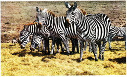 ZEBRA Grazing Peacefully On The Veld - Zimbabwe - Zimbabwe