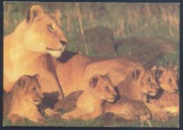 Netherlands Fauna Lion Löwe Panthera Leo Lion Family - Katzen