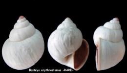 bostryx erythrostomus