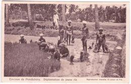 Environs De PONDICHERY - Déplantation De Jeune Riz -ed. A Latour - Cultivation