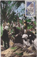 AFRIQUE NORD,MAGHREB,AFRICA,ALGER IE,KSAR EL BOUKHARI,BOGHARI,TITTERI, CUEILLETTE DATTE,METIER - Algeria