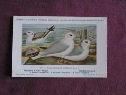 MOUETTE A 3 DOIGTS  Musée Royal D´ Histoire Naturelle Belgique Oiseau Bird Oiseaux Illustration DUPOND H Carte Postale - Oiseaux
