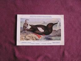 GUILLEMOT A MIROIR  Musée Royal D´ Histoire Naturelle Belgique Oiseau Bird Oiseaux Illustration DUPOND H Carte Postale - Birds