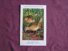 RÂLE DES GENÊTS  Musée Royal D´ Histoire Naturelle Belgique Oiseau Bird Oiseaux Illustration DUPOND H Carte Postale - Birds