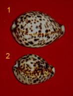 Cypraea Tigris  New Cedonia De Récif Small   N°2 - Seashells & Snail-shells