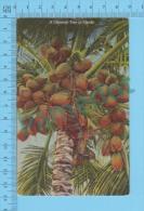 Cocoanut Tree ( In Florida USA ) CPA Carte Postale Postcard Recto/verso - Fleurs, Plantes & Arbres