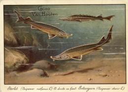 Chromo Poisson Esturgeon Et Sterlet Publicite Cacao Van Houten 120x100 Voir Scans - Fische Und Schaltiere