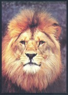 Germany Deutschland Fauna Lion Löwe Panthera Leo: ZOO Wuppertal - Katzen
