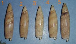 Terebellum Terebellum     New Caledonia  N°4 - Seashells & Snail-shells