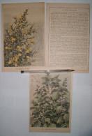 Lot De 3 Chromos Sur Les Plantes : Bouton D'or / Genêt / Lamier Blanc - 1920 - Trade Cards