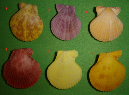6 Pectens  Philippines - Seashells & Snail-shells