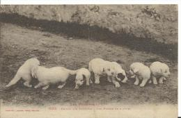 65 - HAUTES PYRENEES -  MChiens Des Pyrénées - Patous - Petits De 8 Jours - Frankrijk