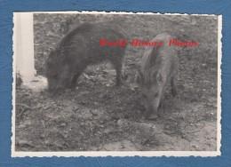 Photo Ancienne - Deux Marcassins - Sanglier - Porc - Cochon Sauvage - Pig - Photos