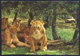 Danmark Postcard: Fauna Lion Löwe Leone Panthera Leo: Jylland, Givskud, Lion Park - Löwen