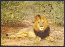 Germany Deutschland Postcard: Fauna Lion Löwe Leone Panthera Leo: - Löwen