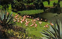 AK Tier Flamingos Miami Parrot Jungle Flamingo Flamant Fenicottero USA Vereinigte Staaten Amerika Miami's Parrot Jungle. - Oiseaux