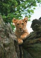 Postcard - Lion Cub At Longleat. XPSLL15 - Lions