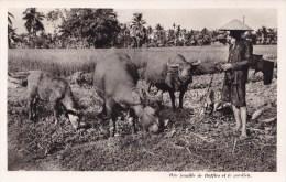 UNE FAMILLE DE BUFFLES ET LE GARDIEN (SA) - Vietnam