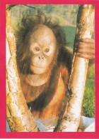 Post Card Of Gordon The Orangutan, Monkey World, Ape Rescue Centre, Dorset, B16. - Monkeys