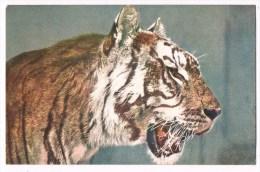 26442 Siberian Tiger - Tijger - Tigres