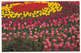 Tulips At Roozengaarde Division Of Washington Bulb Company Mount Vernon Washington - United States