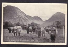 Old Card, Highland Cows, Invereggan, Glen Coe, Scotland, S2. - Mucche