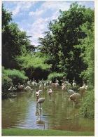 Afrique Du Sud : South Africa - Flamingos In E Beautiful Shady Spot (n°578 Cape Town) Dentelée Flamants Roses - Südafrika