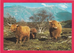 Postcard Of Cow, The Long Haired Highland Cow B3. - Mucche