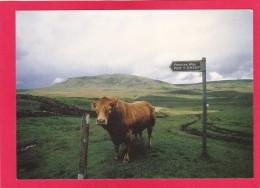 Postcard Of Cow, Bull On The Pennine Way, B3. - Cows